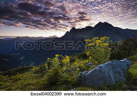 "Stock Photograph of ""Sunrise, Wood Ragwort (Senecio ovatus) at the."