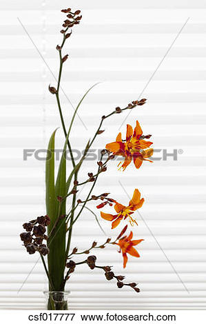 Picture of Montbretia flowers, close up csf017777.