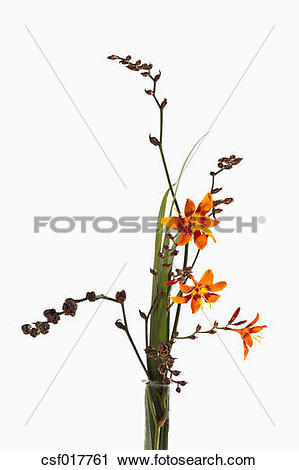 Stock Photography of Montbretia flower against white background.