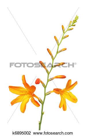 Stock Photo of Montbretia k6895002.