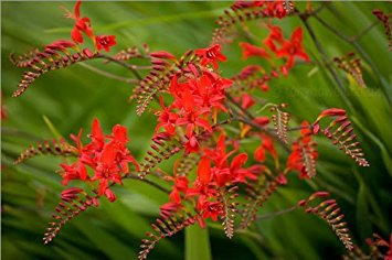 Amazon.com : 10 RED LUCIFER CROCOSMIA Crocosmia Masoniorum Flower.