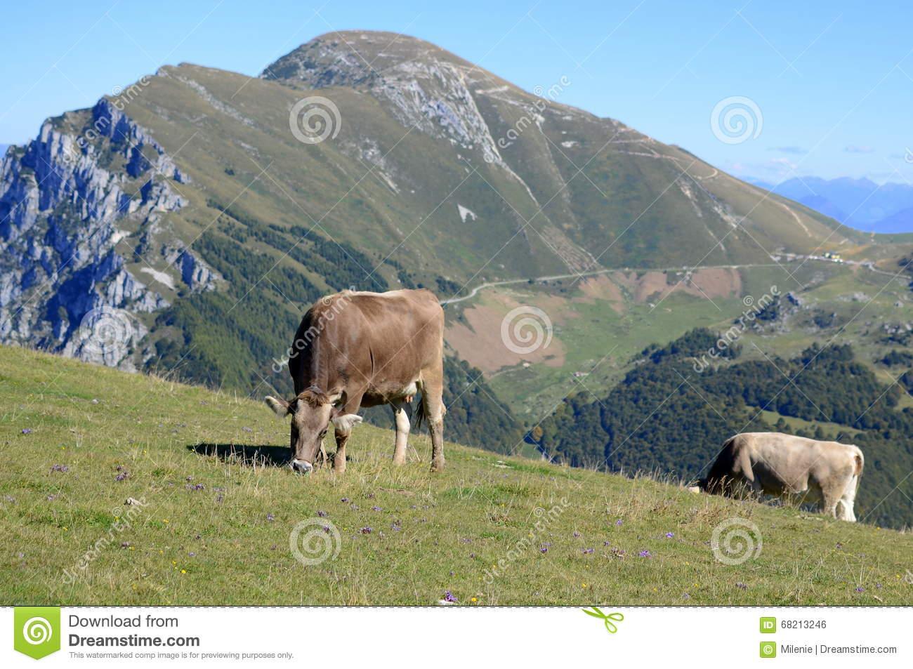 Monte Baldo, Italy, Cows On Field Stock Photo.
