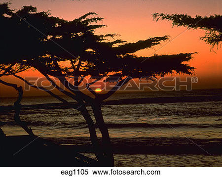 Stock Image of Silhouette of Monterey Cypress tree at sunset on.