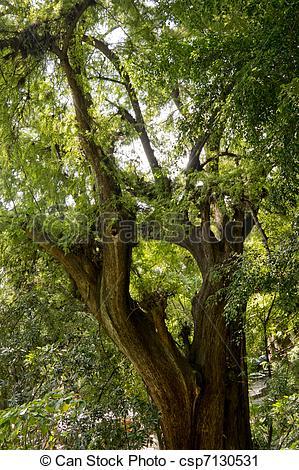Stock Photography of Montezuma Cypress Tree.