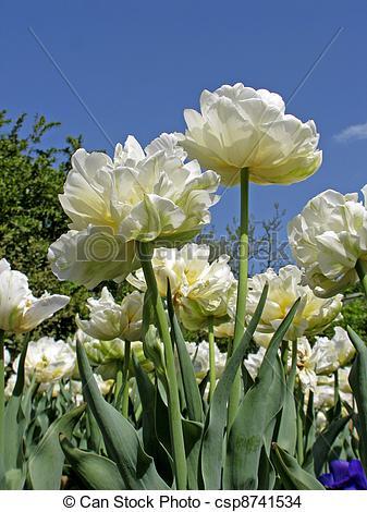 Stock Photo of Tulip sort Montreux.