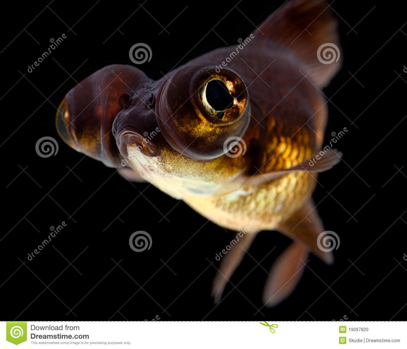 Black Moor Goldfish Stock Photo.