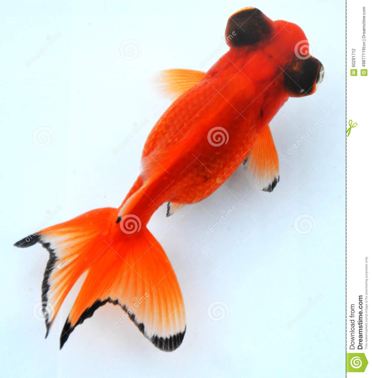 Moor Fish Orange Black Eyes Stock Photo.