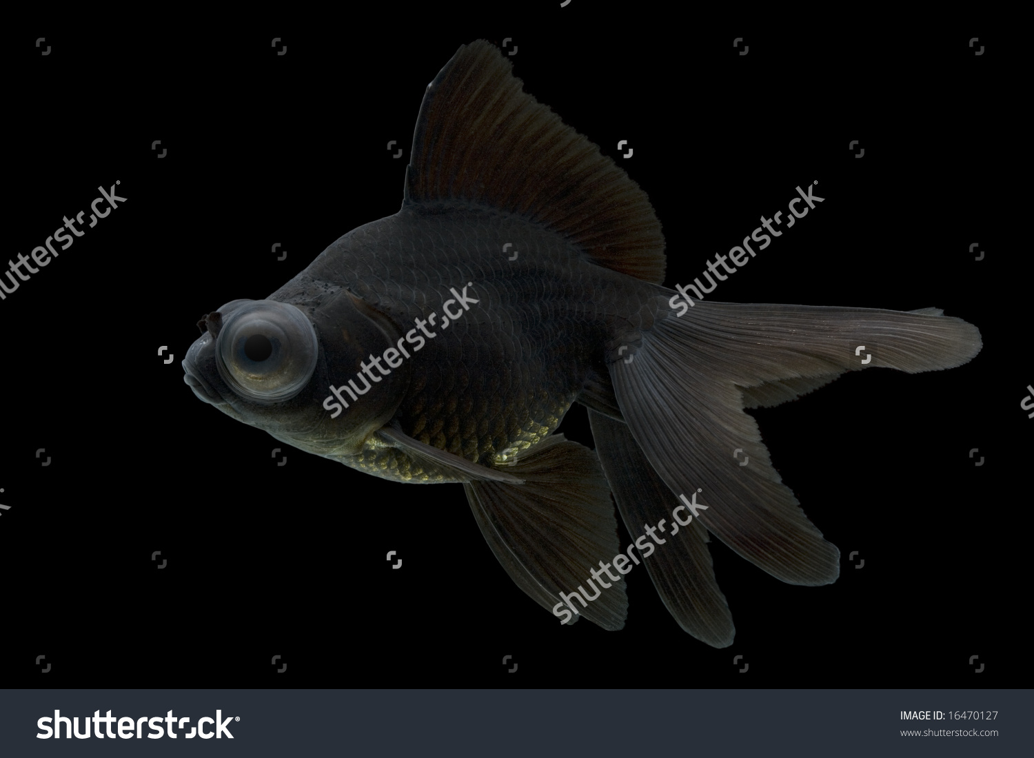 Sideview Black Moor Goldfish Swimming Against Stock Photo 16470127.