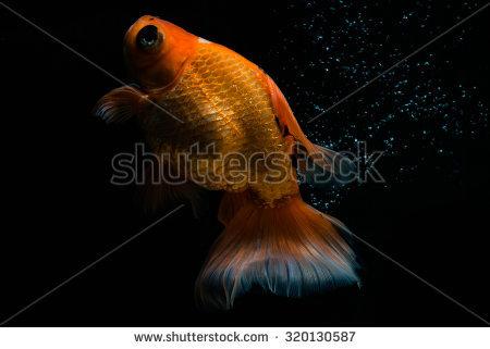 Black Goldfish Moor Stock Photos, Royalty.