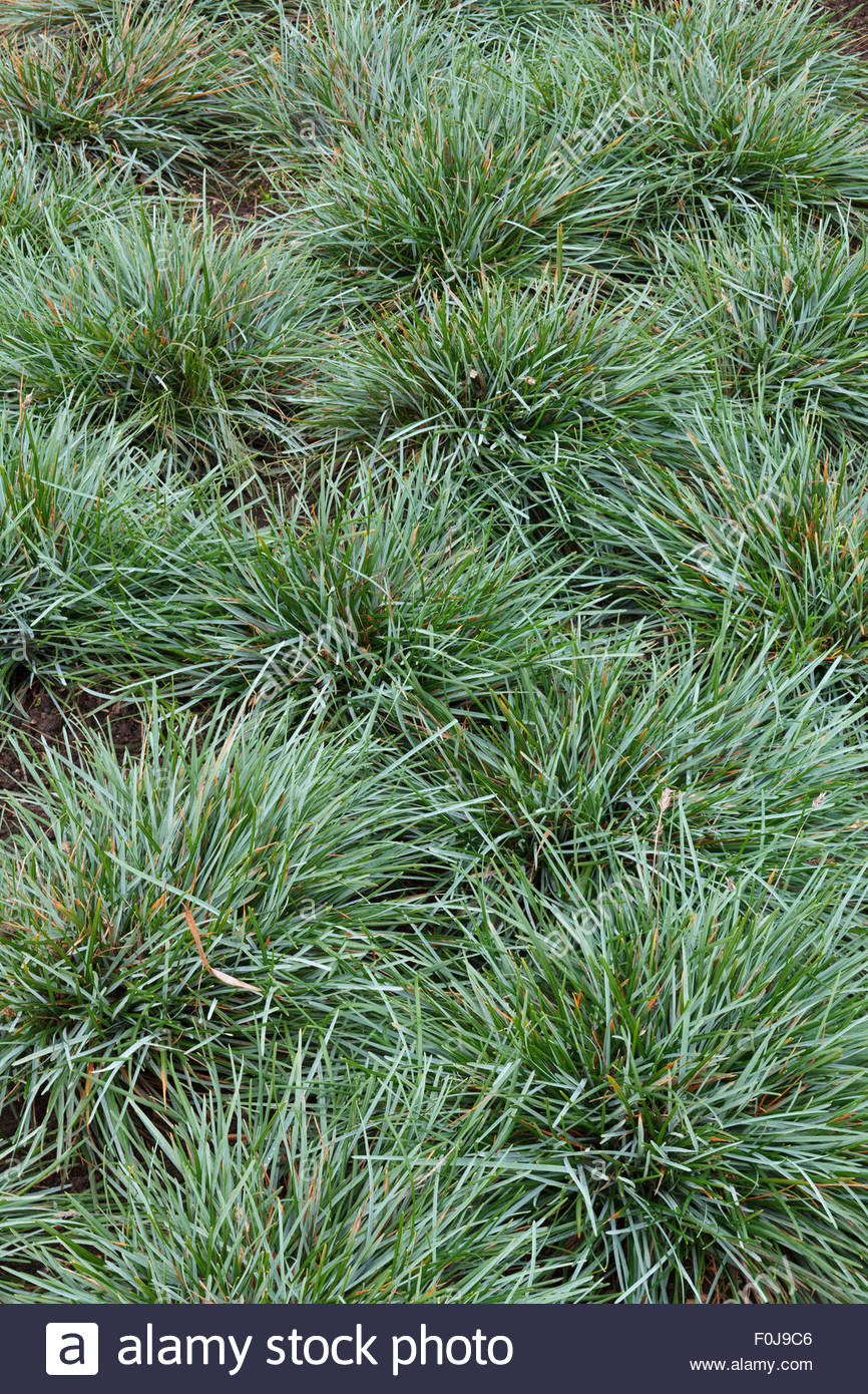 Tufted Grass Stock Photos & Tufted Grass Stock Images.