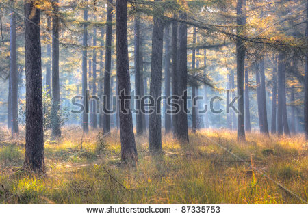 Forest With Larch (Larix) Trees, Purple Moor Grass (Molinia.