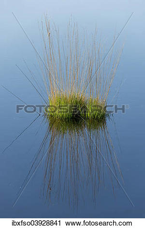 "Stock Photography of ""Purple Moor Grass (Molinia caerulea."