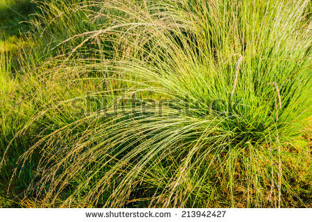 Molinia Caerulea Stock Photos, Royalty.