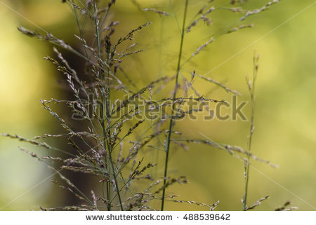 Purple Moor Grass Stock Photos, Royalty.