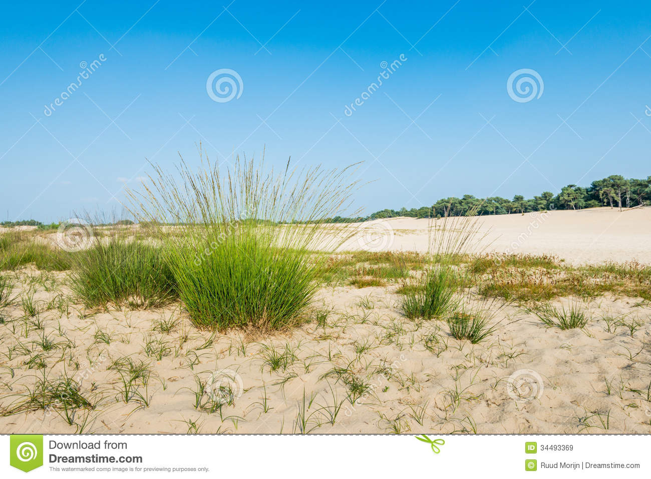 Dune Landscape With Flowering Purple Moor Grass Royalty Free Stock.