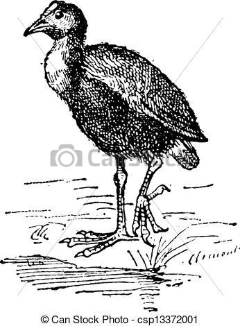 Vector Clipart of Moorhen or Gallinula sp., vintage engraving.