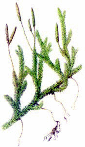 Moss Clip Art Download.