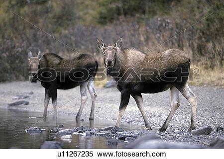 Stock Image of antler, elk, antlers, moose cow, elks, deer.
