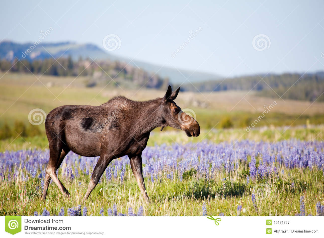 Moose Cow On Meadow Royalty Free Stock Photography.