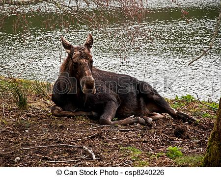 Stock Image of Moose Cow Lying Down Near Water.