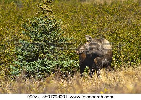 Stock Photography of Moose cow standing in thick brush near.