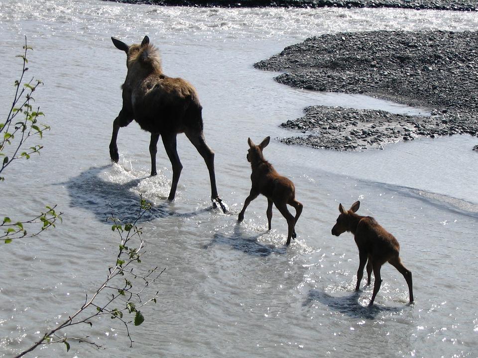 Free photo: Moose, Cow, Babies, Water, Wildlife.