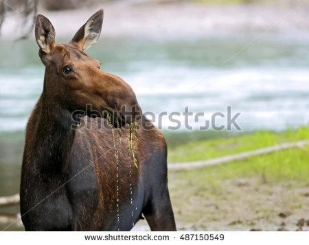 Clipart moose standing in water.