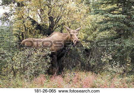 Stock Image of Standing, Wildlife, Wild, Deer, Moose, Cow, Animal.