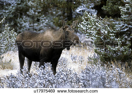 Stock Photograph of Moose cow u17975469.