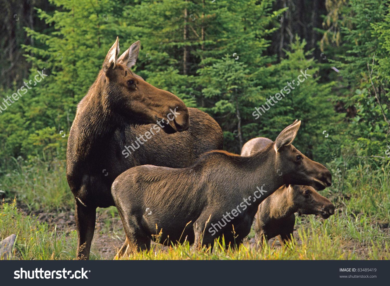 Moose Cow Calves Alces Alces Stock Photo 83489419.