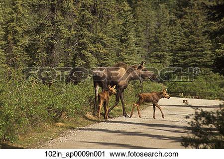 Stock Photography of Moose Cow w/ Calves on Road Denali NP AK.