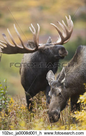 Stock Photo of Moose cow and bull moose exhibiting courtship.