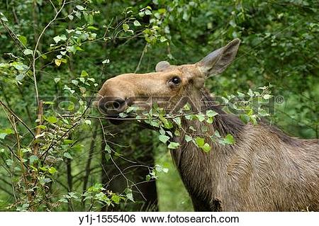 Stock Images of Moose cow, Alces alces, Summer, Europe y1j.