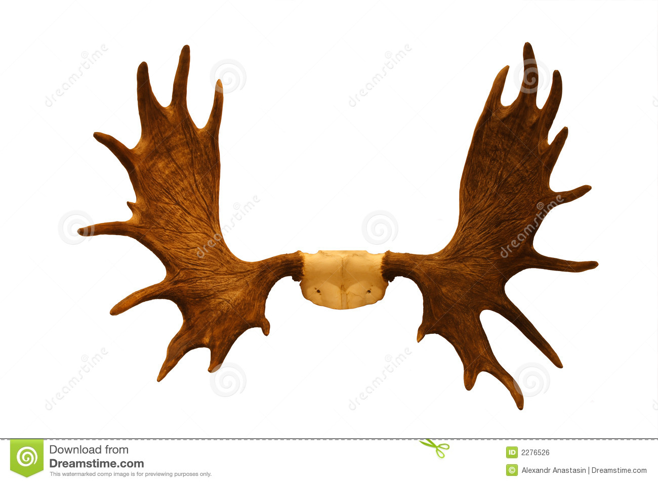 Horns Of Moose Royalty Free Stock Image.