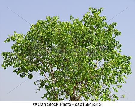 Stock Photography of Ficus Religiosa tree. Family: Moraceae.