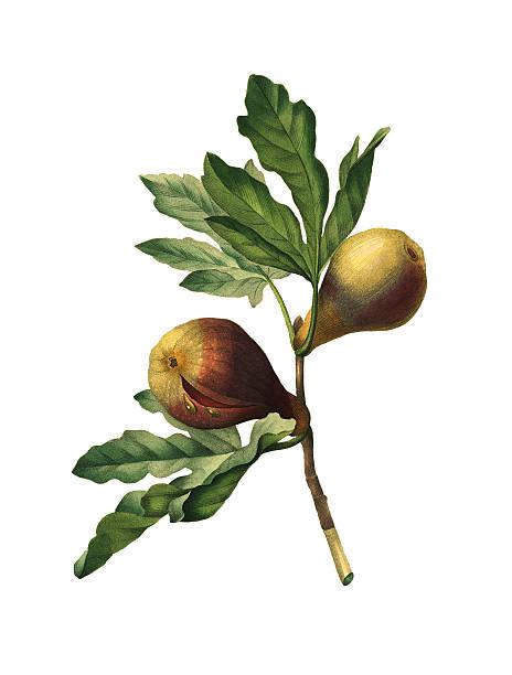 Moraceae Clip Art, Vector Images & Illustrations.