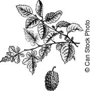 Moraceae Clipart and Stock Illustrations. 36 Moraceae vector EPS.