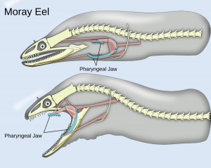 Moray Eel Clip Art Download.
