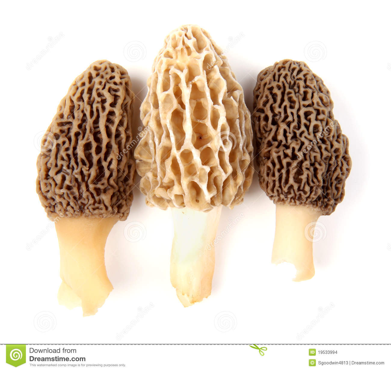 Three Gray And Yellow Morel Mushrooms Stock Images.