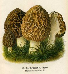 Morel mushroom..these are delicious when correctly prepared and.