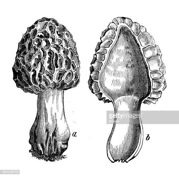 41 Morel Mushroom Stock Illustrations, Clip art, Cartoons.