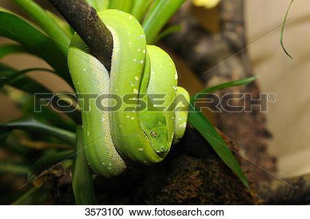 Stock Photography of Green Tree Python (Morelia viridis) 3573100.