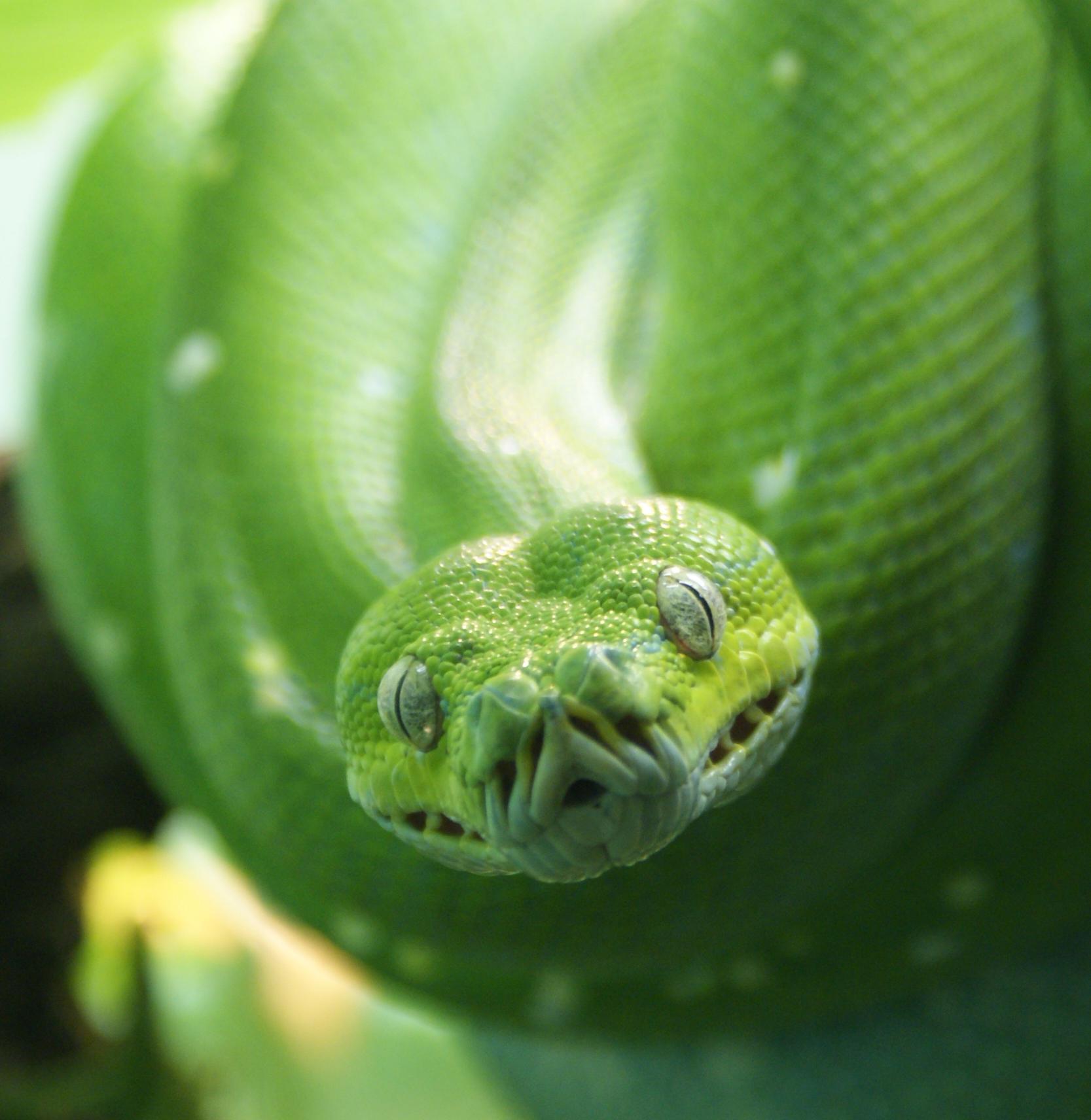 File:Morelia viridis 4.jpg.