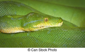 Stock Photography of Juvenile Green Tree Python (Morelia viridis.