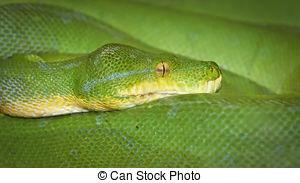 Stock Photography of Juvenile Green Tree Python (Morelia viridis.