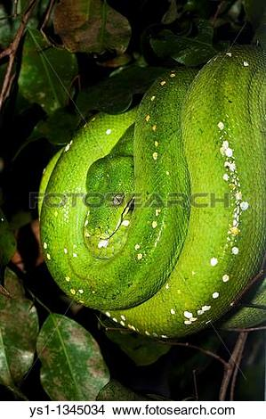Stock Photo of GREEN TREE PHYTON morelia viridis, ADULT ys1.