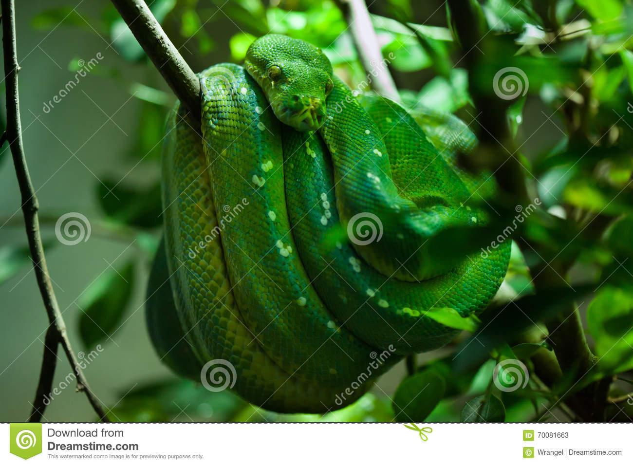 Green Tree Python (Morelia Viridis). Stock Photo.