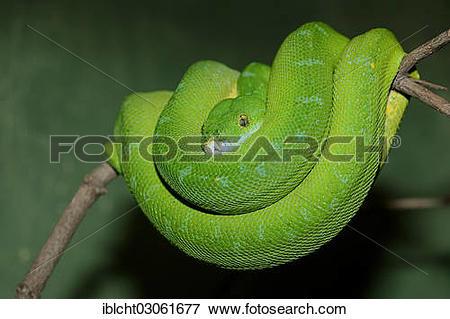 "Picture of ""Green Tree Python (Chondropython viridis, Morelia."