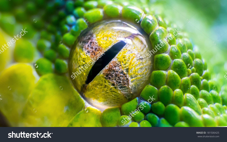 Eye Green Tree Python Morelia Viridis Stock Photo 181506425.
