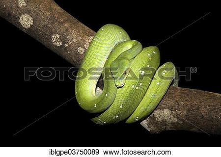 Stock Photograph of Green Tree Python (Morelia viridis.
